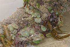 Marine Flora et faune à marée basse images libres de droits