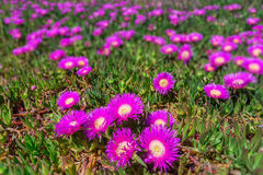 Marine flowers coast of Portugal. Spring in Algarve. Royalty Free Stock Photography