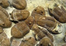 Marine Fossils Stock Images