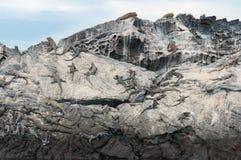 Marine Galapagos iguanas resting on cliff face royalty free stock image