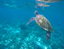 Marine green turtle in aqua blue water. Tropical sea animal. Underwater photo of big sea turtle. Stock Photography