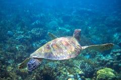 Marine green turtle swims above seabottom. Tropical island seashore nature. stock photos