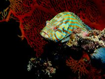 Marine Grouper Stock Photography