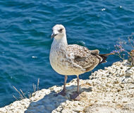 Marine gull stock photos