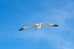 The Marine gull Royalty Free Stock Photos