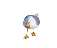 The Marine gull Royalty Free Stock Photo