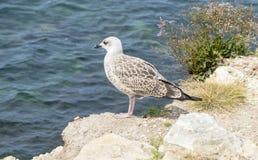 Marine gull Royalty Free Stock Photos