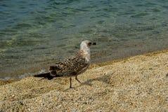 Marine gull  walking on the beach Stock Image