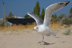 Marine gulls Royalty Free Stock Photos
