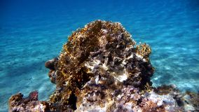 Marine Habitat – Coral Reef. Red Sea, Egypt. Royalty Free Stock Photo