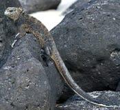 Marine Iguana 1. Marine Iguana. Latin name - Amblyrhynchus cristatus Stock Images