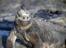 Marine Iguana. The Marine iguana is a very popular figure in the Galapagos Stock Photography