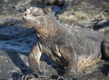 Marine Iguana. The marine Iguana is only found in the Galapagos Islands and has the unique ability to forage in the sea Royalty Free Stock Image