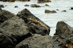 Marine Iguana stock foto
