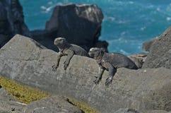 Marine Iguana stock afbeeldingen