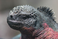 Marine Iguana. In the Galapagos Islands stock photo