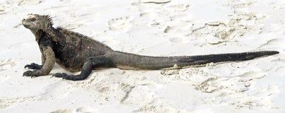 Marine Iguana 2 Stock Image