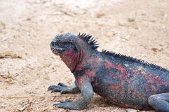 Marine Iguana. Stock Photography