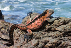 Marine iguana Royalty Free Stock Photo