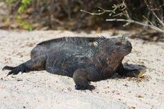 Marine Iguana. A marine Iguana on the galapagos islands Royalty Free Stock Photos