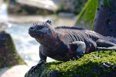Marine Iguana. A marine iguana on an algae covered rock Stock Photos