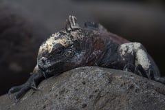 Marine Iguana. A marine iguana in the galapagos islands Stock Photo