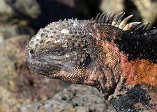 Marine iguana Royalty Free Stock Photography