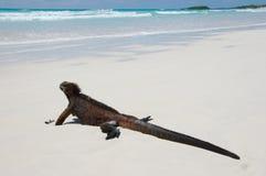 Marine iguana Royalty Free Stock Images