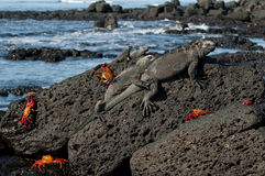 Marine iguana. (Amblyrhynchus cristatus), Santa Cruz Island, Galapagos Islands, UNESCO World Heritage Site, Ecuador, South America stock images