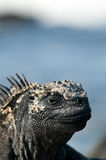 Marine iguana. (Amblyrhynchus cristatus), santa Cruz Island, Galapagos Islands, UNESCO World Heritage Site, Ecuador, South America royalty free stock photo