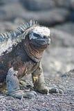 Marine Iguana. In the Galapagos Islands stock photo