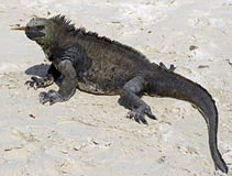 Marine Iguana 4 Royalty Free Stock Photo