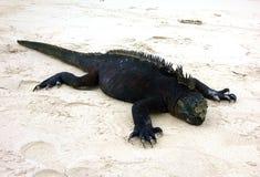 Marine Iguana Foto de Stock Royalty Free