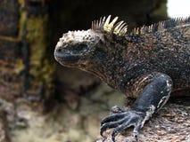 Marine iguana. On isabels inhospitable lava rocks Stock Photo