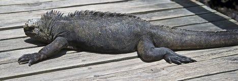 Marine Iguana 5 Stock Image
