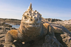 Marine Iguana. (Amblyrhynchus cristatus). Vulnerable and endemic to Galapagos. Punta Espinosa, Fernandina Island, Galapagos, Ecuador Royalty Free Stock Photos