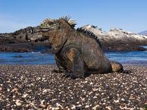 Marine Iguana. (Amblyrhynchus cristatus). Vulnerable and endemic to Galapagos. Punta Espinosa, Fernandina Island, Galapagos, Ecuador Stock Images