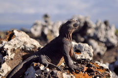 Marine Iguana Stockfotos