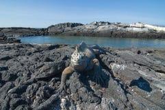 Marine Iguana. (Amblyrhynchus cristatus). Vulnerable and endemic to Galapagos. Punta Espinosa, Fernandina Island, Galapagos, Ecuador Royalty Free Stock Photo