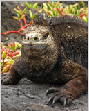 Marine iguana. In the galapagos islands Royalty Free Stock Images