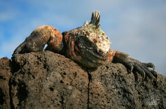 Marine Iguana. A Marine Iguana peers over a rock on the Galapagos Islands stock image