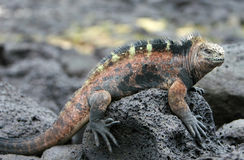 Marine Iguana. A beautiful marine iguana perched on a volcanic rock royalty free stock photos