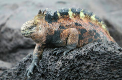 Marine Iguana Stock Photo