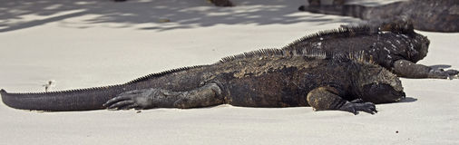 Marine Iguana 7 Royalty Free Stock Photo