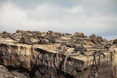 Marine Iguana Stock Photography