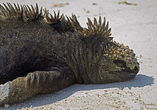 Marine Iguana 8 Royalty Free Stock Photos