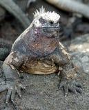 Marine Iguana. In the Galapagos Islands of Ecuador Royalty Free Stock Images
