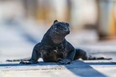Marine Iguana Photographie stock libre de droits