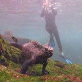 Marine Iguana Stockbild