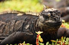 Marine Iguana. A marine Iguana resting at the Galapagos Islands, Ecuador royalty free stock images